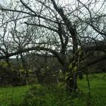 2-能勢ぐりの木