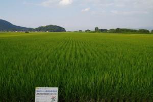 1-美しい田んぼ1