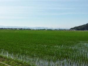 5-彦根田植え3