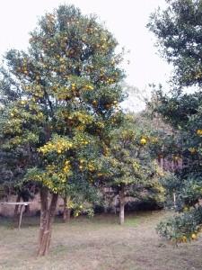 1-箕面の柚子2012