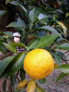 2-箕面の柚子2012-2