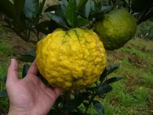 4-獅子柚子