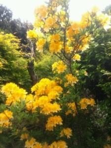 1-黄色いツツジ