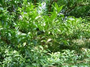 3-柚子の木3