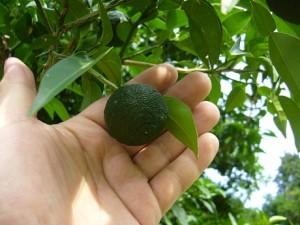 5-チビ柚子