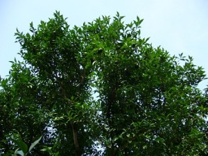 2-柚子の木2