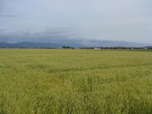 3-広い小麦畑