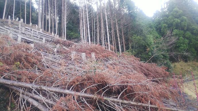 昨年伐採したヒノキ2020-01-01