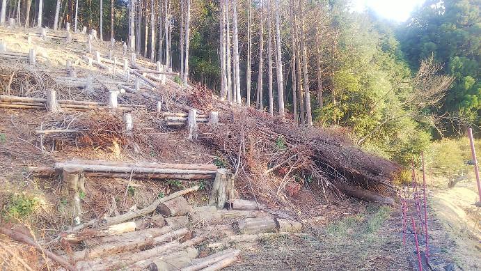 昨年伐採したヒノキ2020-01-02