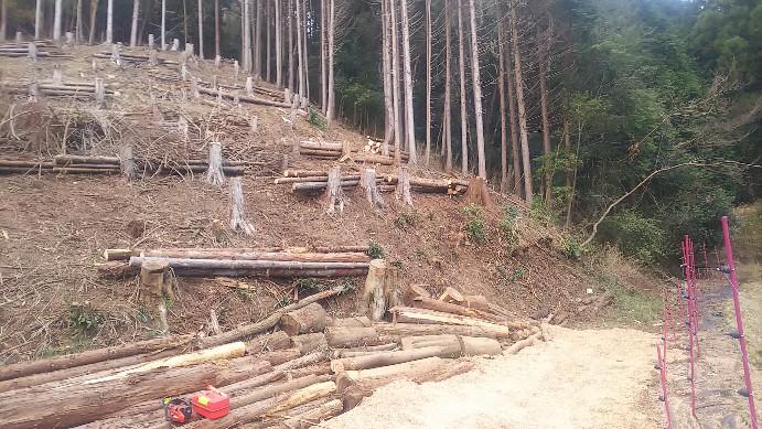 昨年伐採したヒノキ2020-01-03