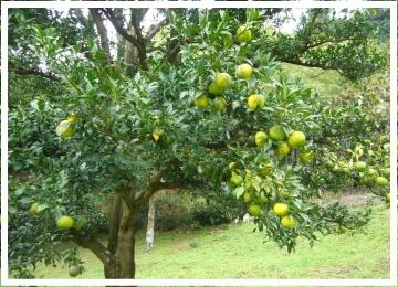 箕面の柚子